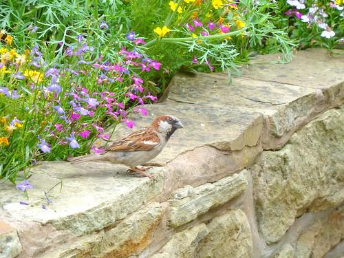 Pant Yr Ochain Sparrow 2