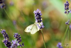 Großer Kohlweißling / Large White (3) (Ellenore56) Tags: life light summer white inspiration color colour nature animal butterfly garden insect licht loop sommer sony natur lavender july philosophy cycle physics environment imagination mathematics juli alpha economic creature magical farbe insekt garten chaostheory leben tier ecological umwelt lavendel largewhite butterflyeffect pierisbrassicae lebewesen disambiguation turbulenzen kohlweisling schmetterlingseffekt chaostheorie groserkohlweisling dslra350 sonyalphadslra350 philosofi ellenore56 13072010 dynamicl