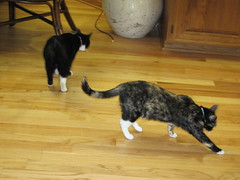 IMG_0322.JPG (Dr. Warner) Tags: two cats playing kitchen unitedstates chairs lewis iowa bamboo part matching attributes tagcow