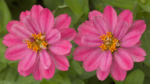 Missouri Botanical Garden (Shaw's Garden), in Saint Louis, Missouri, USA - two pink flowers