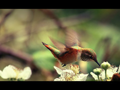 Hummingbird at Rosario beach II (sparth) Tags: flowers bird beach june canon flying washington hummingbird deception pass 300mm rosario deceptionpass 2010 300mm28l rosariobeach 5dmkii