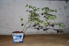 Privet [ Ligustrum ] Potensai (Xtolord) Tags: bonsai privet ligustrum potensai privetbonsai bonsaiprivet xtolord