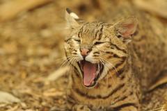 Geoffroy's Cat (Ami 211) Tags: bigcats felidae leopardus felinae geoffroyscat leopardusgeoffroy
