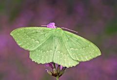 Garden mothing 2010 #26, 10 July (nutmeg66) Tags: garden bravo moth july lincolnshire geometridae 2010 1666 geometrinae mothtrap largeemerald geometrapapilionaria