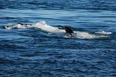 KelpPlay_0673 (Miles Ritter) Tags: whale whales gulfislands orca orcas killerwhales eastpoint saturna southernresidents saturnaisland
