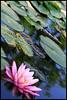 ninfea (E_L_I) Tags: flower verde lago rosa natura foglia acqua paesaggio giardino ninfea obliquamente