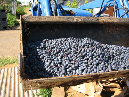 tractor load of blueberries
