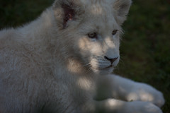 White Lion | IMG_0914