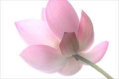 Lotus Flower - IMG_2501-1000 (Bahman Farzad) Tags: flower macro yoga peace lotus relaxing peaceful meditation therapy lotusflower lotuspetal lotuspetals lotusflowerpetals lotusflowerpetal