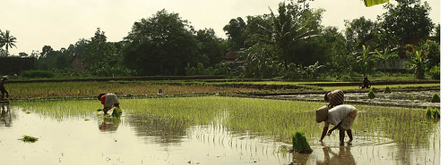 ricefield