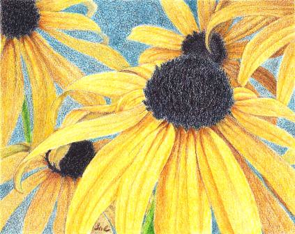 Black-Eyed Susans, colored pencil