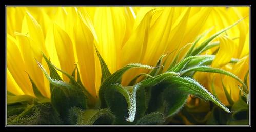 sunflower , tournesol