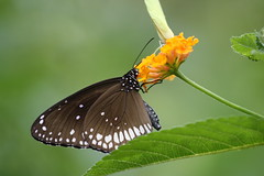 Competetion...[Explored] (Mayur Kotlikar) Tags: macro up canon butterfly botanical rebel is interesting close weekend scout bugs depthoffield explore 200 l xs non 70 botanicalgarden f4 nagpur mayur explored ambazari 1000d kotlikar