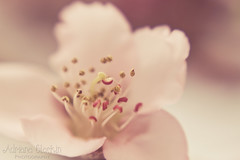 Day 202 of 365 (Adriana Glackin) Tags: life new pink flower macro lensbaby canon cherry soft blossom bokeh adriana muse growth stamen photoaday 365 50d project365