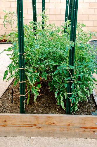 our tomato trellis