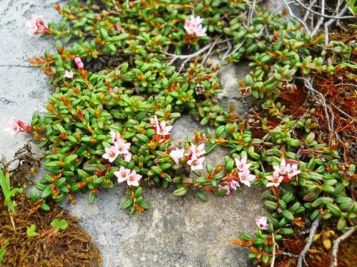 Alpine Azalea / Trailing Azalea (Loiseleuria procumbens)
