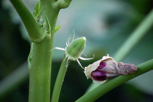 Okra and spent bloom
