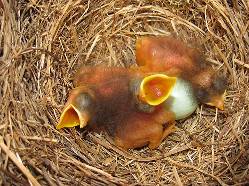 Baby Bluebirds, Day 1