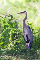 Great Blue Heron (~ Michaela Sagatova ~) Tags: bird nature water wildlife waterbird greatblueheron ardeaherodias michaelasagatova