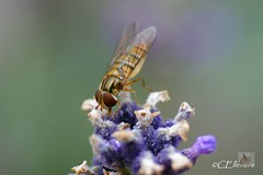 Schwebfliege / hoverfly (Ellenore56) Tags: light inspiration color colour macro nature animal bug insect licht fly klein little natur environment imagination creature makro farbe insekt tier hoverfly ecological fliege syrphidae umwelt schwebfliege insecta hoverflies faszination episyrphusbalteatus hainschwebfliege lebewesen fluginsekt ellenore56 22072010