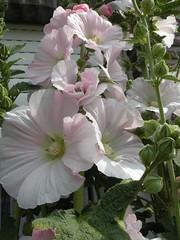 Stokroos (Cicero P12) Tags: bloem kleuren onzehof tweejaarlijks zonzijde