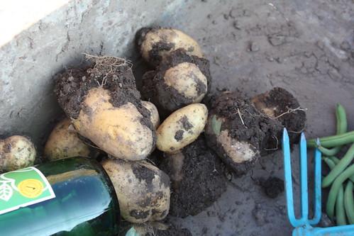Die ersten Kartoffeln ...