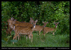 A herd of Chital (M V Shreeram) Tags: india nature animal forest canon mammal wildlife group safari jungle karnataka herd kabini nagarhole chital junglelodges cervidae tigerreserve rajivgandhinationalpark spotteddeer axisaxis 40d 70200f4is visualquotient wwwvisualquotientnet