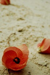 Lampung 2010 (I'm_Nessa) Tags: flower beach indonesia sand indonesianphotobloggers