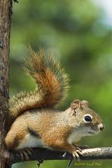 Squirrel (laszlofromhalifax) Tags: animal canon squirrel critter 5d mkii
