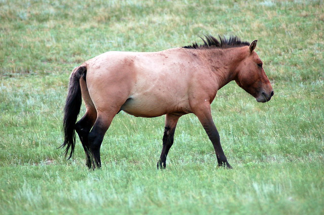 Tahki 蒙古野馬, Khustain National Park 哈斯台國家公園