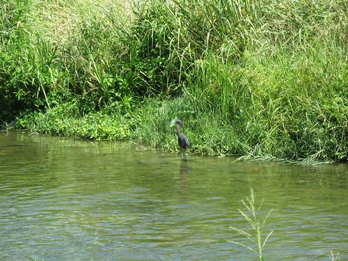 Blue Heron on San Antonio River