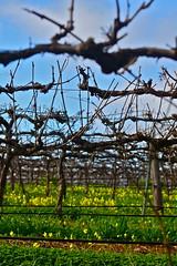 On The Farm - 031 (Kyle Taylor, Dream It. Do It.) Tags: dog vineyard farm winery adelaide southaustralia barossa barossavalley kidsplaying kyletaylor