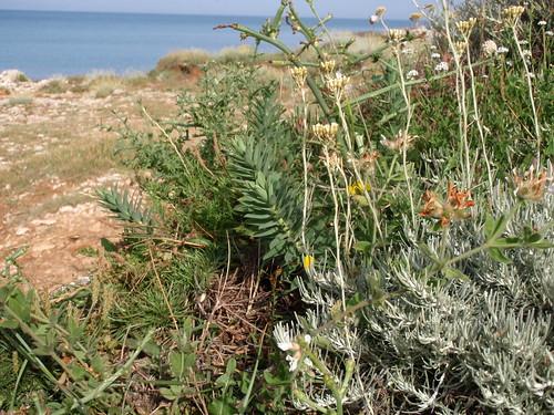 Aromatic herbs along the coastline