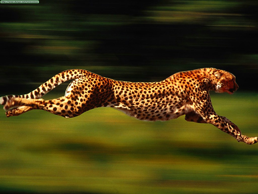 Animals Cheetahs_High Velocity, Cheetah