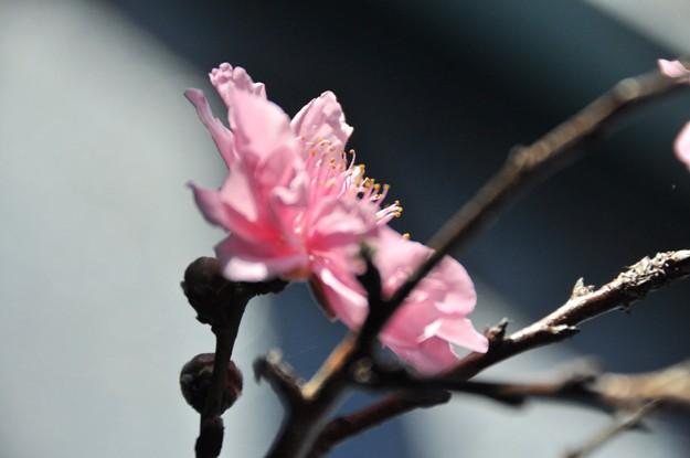 Cherry blossom 023