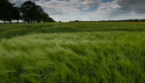 irgendwo in Brandenburg - wogende Felder