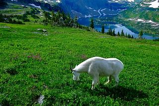 Billy Goat Heaven