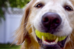 | In Your Face | (SOBPhotography) Tags: dog chien pet cane goldenretriever golden canine hond retriever perro hund trinity