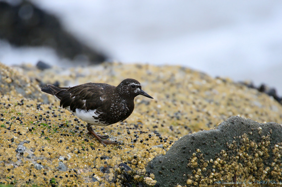 Black-Turnstone-071002