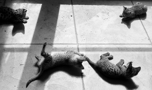 Four Savannah Kittens at Play