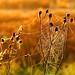 Golden Cobweb