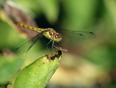 Femail Common Darter (saxonfenken) Tags: insect dof dragonfly superhero thumbsup darter bigmomma gamewinner 6971 augustfield thechallengefactory herowinner pregamewinner 6971inawxt