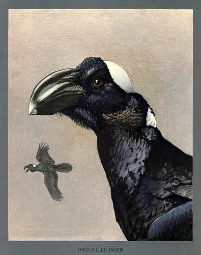 005-cuervo de gran pico africano-Album of Abyssinian birds and mammals 1930- Louis Agassiz Fuertes