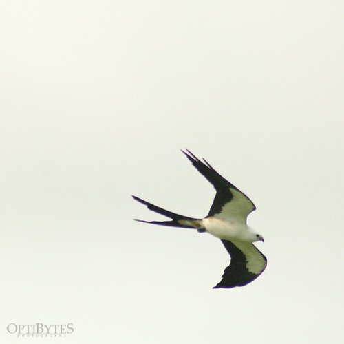 Swallow-Tailed Kite 1
