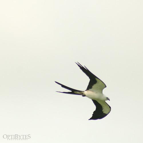Swallow-Tailed Kite 1