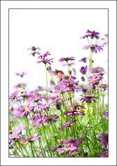 Brachycome Purple Splendour (haberlea) Tags: flowers white green nature garden border whitebackground frame mygarden onwhite brachycome brachycomepurplesplendour
