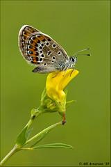 Plebejus argus (Atlapix) Tags: flower nature butterfly insect europe hungary wildlife lepidoptera lycaenidae plebejusargus silverstuddedblue plebejus atlapix szalaf rsg rsgnationalpark