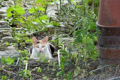 琵琶湖の畑猫
