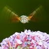 Hummingbird Hawk-moth - Moro sphinx - Macroglossum stellatarum (Domdomfrommionnay) Tags: macro insect flying inflight moth insecte envol hummingbirdhawkmoth macroglossumstellatarum kenkoextension morosphinx canoneos50d canonef75300mmf456usm flickraward sphinxcolibri