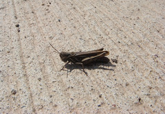grasshopper (>kaboom<) Tags: macro nature animal dark thüringen natur grasshopper locust makro nordhausen tier sauterelle 2010 cavalletta saltamontes grashüpfer gomphocerinae кузнечик chapulín tucura lǜzhàměng